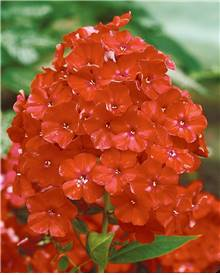 5 Phlox paniculata 'Orange Perfection'