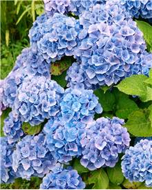 Collection de 3 Hortensias (1 rouge + 1 bleu + 1 rose)