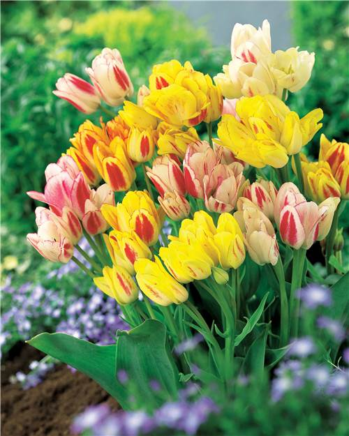 Collection Tulipes multiflores pastel (5 'Sunshine Club' + 5 'Candy Club')