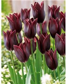 10 Tulipes à longues tiges 'Havran'