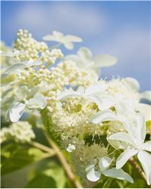 Hortensia paniculata Great star