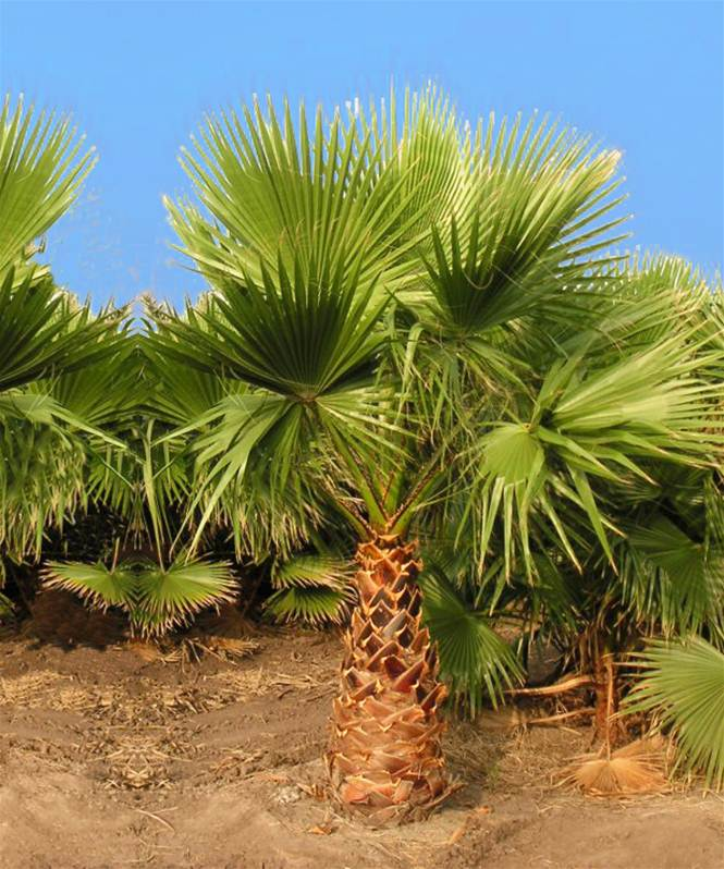 Washingtonia robusta palmier ventail willemse - Image palmier ...
