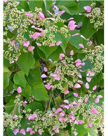 Schizophragma hydr. Rose Sensation®