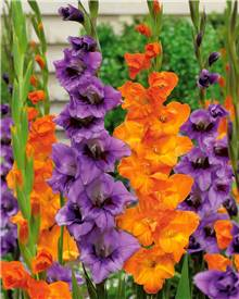 20 Glaïeuls orange et lilas en duo