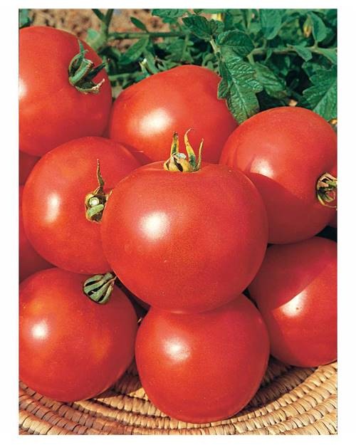 Tomate 'Casaque Rouge'