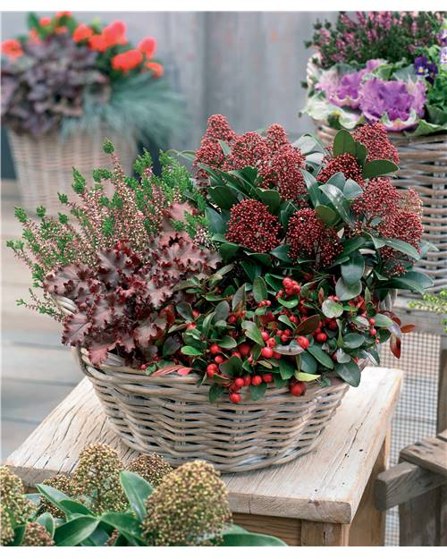 Collection balcon d'hiver - 4 plantes