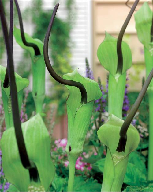 Arisaema tortueux