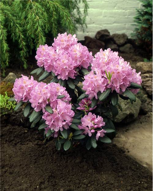 Rhododendron compact 'Doc'