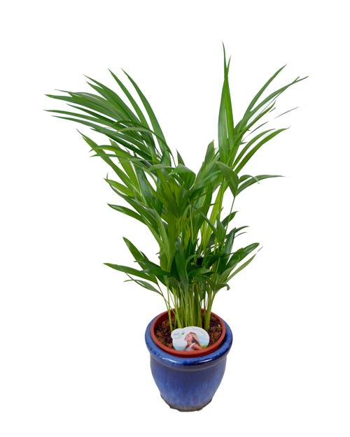 Pack 2 palmiers areca