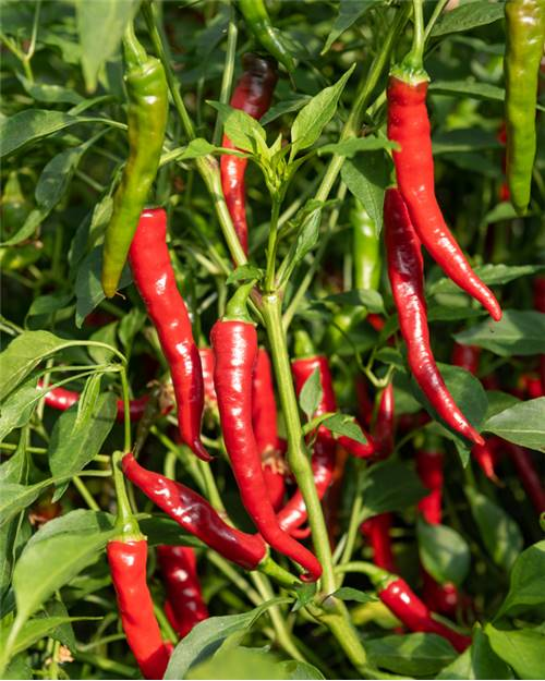 3 Plants Piment de Cayenne