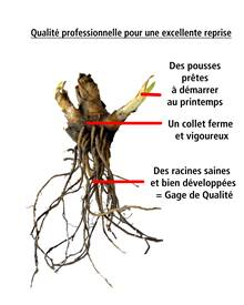 Collection de 6 iris de jardin remontants (Autumn Encore,Lovely Again