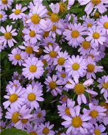 Faux-aster mongol Antonia