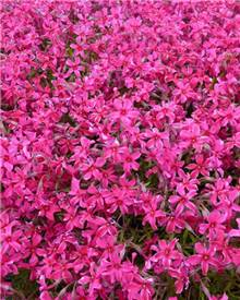 Phlox mousse Scarlet Flame