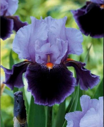 iris de jardin germanica