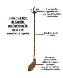 Mini-rosier sur tige Mousha