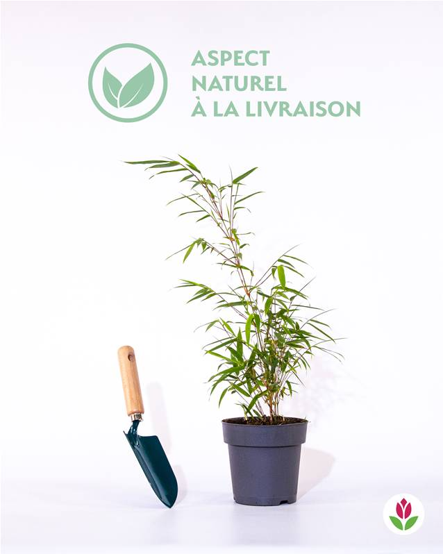 Bambou willemse for Type de plante