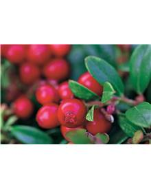 Airelle rouge 'Miss Cherry'® (Meliro)