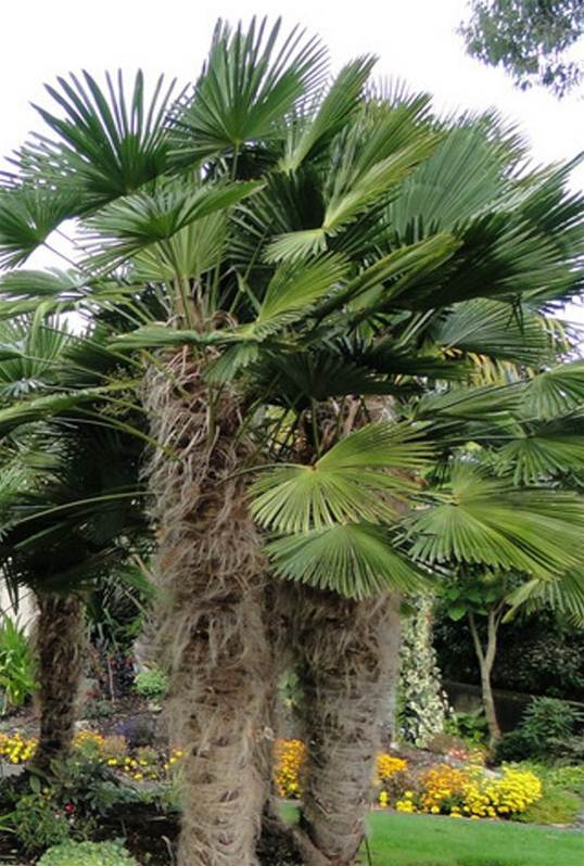 Trachycarpus wagnerianus palmier nain willemse - Trachycarpus fortunei entretien ...