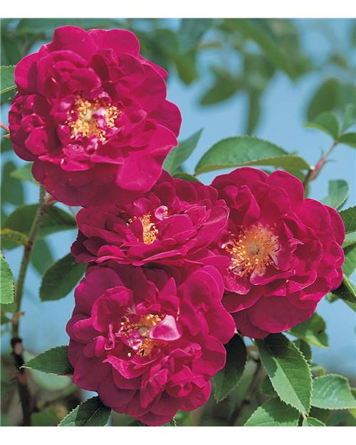 Rosier ancien 'Tuscany Superb'