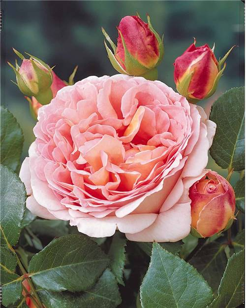 Rosier anglais 'Abraham Darby'® abricot