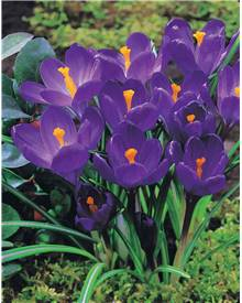 15 Crocus 'Flower Record'
