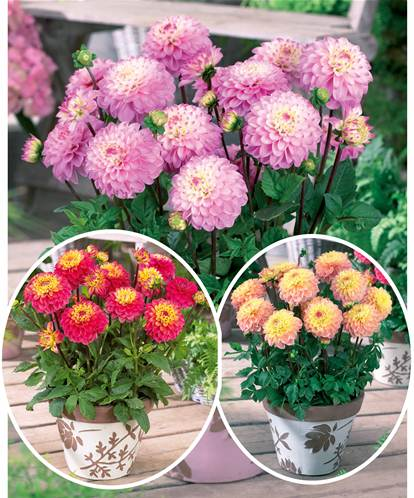 Collection 9 dahlias nains (3 'Princesse Elisabeth', 3 'Laetitia', 3 'Gracia')