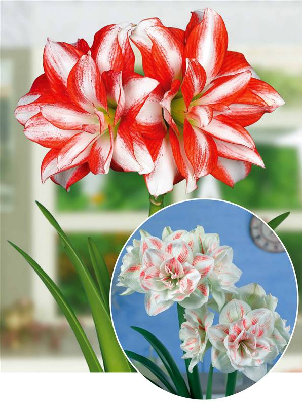 Collection 2 amaryllis willemse for Amaryllis engrais