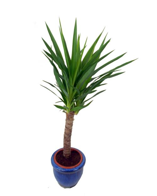 Yucca Dinterieur Willemse