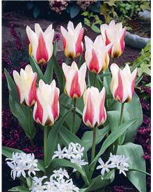 Collection 40 bulbes de printemps (15 tulipes + 25 crocus)