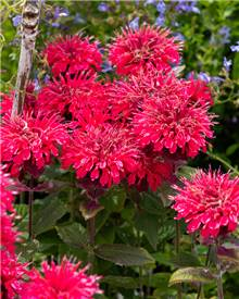 Monarde Bee Happy ®