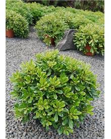 Pittosporum tobira 'Nana'