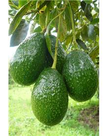 Avocatier : Persea americana