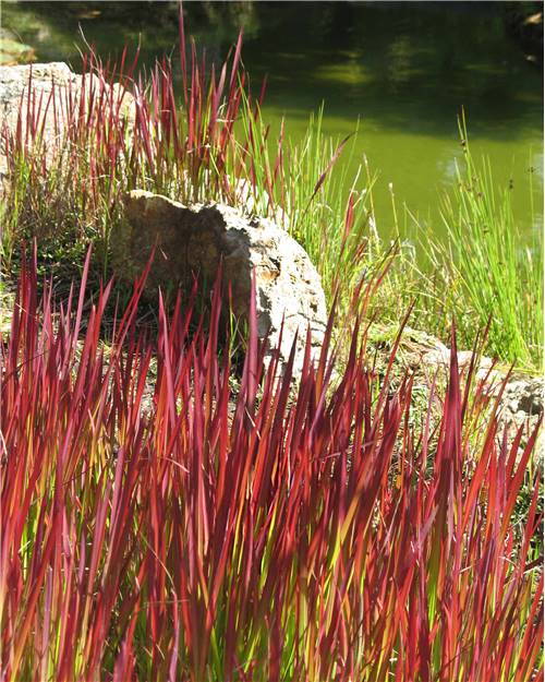 2 Imperata Red Baron