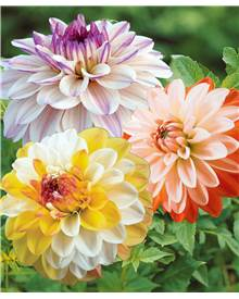 Collection 9 Dahlias assortis (3 Coup de soleil, 3 Flashback, 3 Double Jill)
