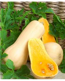 3 Plants Courge Butternut 'Sibelle' F1