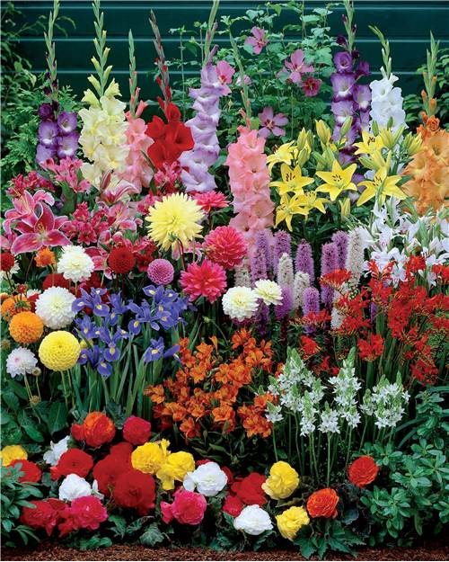 Collection 39 massif d 39 t fleuri 39 45 bulbes superficie env 1 5 m willemse - Massif de fleurs vivaces ...
