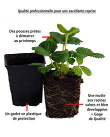 2 Fraisiers non remontants Framberry ® en godets