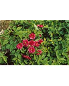 Ronce d'ornement Rubus spectabilis Olympic Double