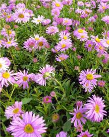 Aster des Alpes Happy End