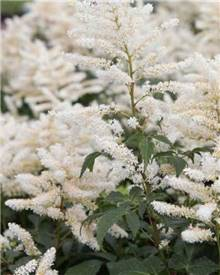 Astilbe hybride Washington