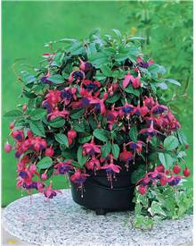 Collection de 6 fuchsias retombants (2 Southgate + 2 Swingtime + 2 Dark Eyes)