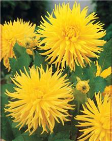 3 Dahlias cactus nains 'Yellow Happiness'