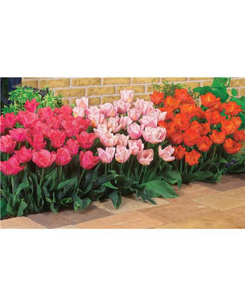 20 Tulipes Triomphe 'Rejoyce' (rose clair)