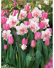 Coll 'Replete' 30 bulbes (Tulipes Evening Breeze' + Narcisses doubes