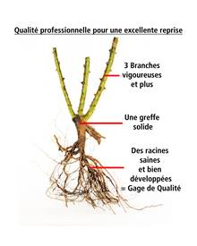 Collection de 3 rosiers buissons (1 Osiria + 1 Famosa + 1 Double Delight)
