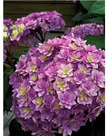 Hortensia 'Expression'