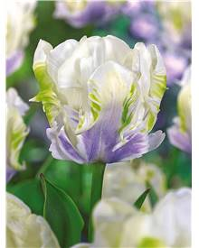 10 Tulipes perroquet 'White Lizard'