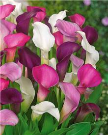 3 Callas assortis (1 blanc + 1 pourpre + 1 rose)