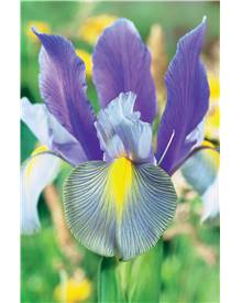 20 Iris de Hollande Gipsy Beauty