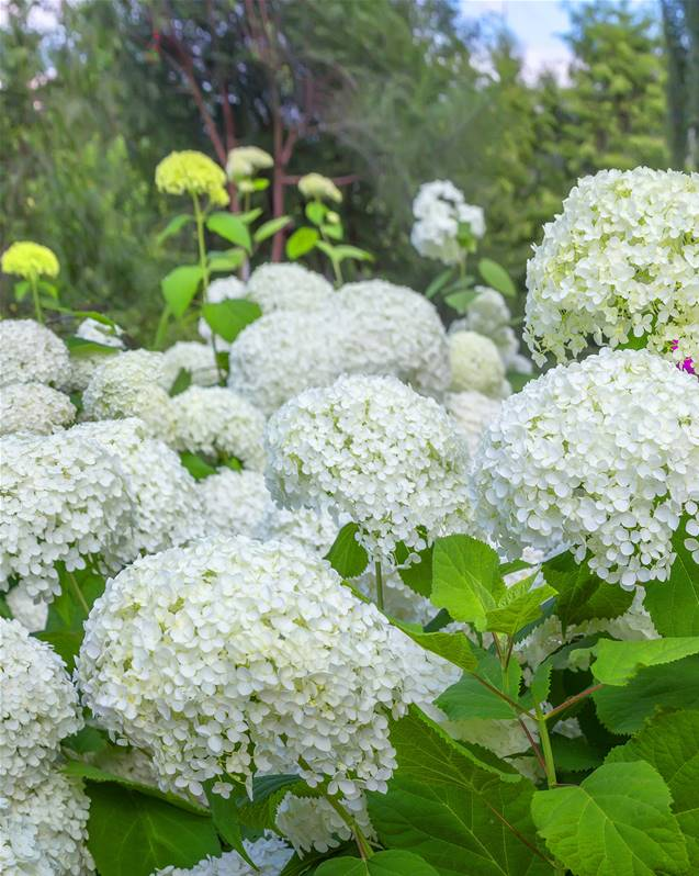 hortensia hydrangea annabelle arbuste fleuri jardin pot. Black Bedroom Furniture Sets. Home Design Ideas